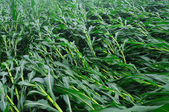 Wind-blown corn — Stock Photo