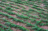 Millet seedlings — Stock Photo
