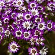 Cineraria 4 — Stock Photo