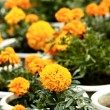 Stock Photo: Marigold