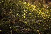 Winter Jasmine — Stock Photo