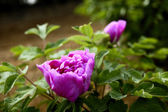Blooming peony — Stock Photo
