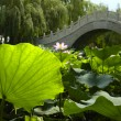 Stock Photo: Lotus pond