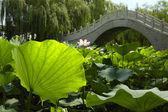 蓮の池 — ストック写真