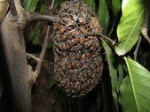 Honeybees — Stock Photo