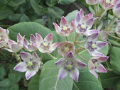 Calotropis flowering plant — Stock Photo