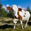Cow on a green meadow — Stock Photo