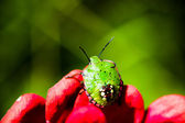 Southern green stink bug (Nezara viridula) larva on red flowers petals on green background — Stock Photo