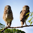 Stock Photo: Owl couple on branch