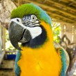 Blue and yellow macaw close-up — Stock Photo #12598703