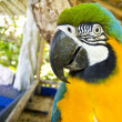 Blue and yellow macaw head close-up — Stock Photo #12598709