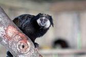 Black-tufted marmoset — Stock Photo