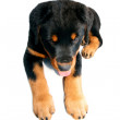 Rottweiller puppy — Stock Photo