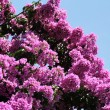 Stock Photo: Glory Purple Tree