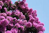 Glorie paarse boom — Stockfoto