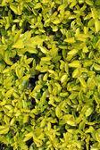 Pingo d'ouro bush — Stock Photo