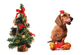 Canine Christmas — Stock Photo