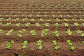 Lettuce crop — Stock Photo
