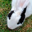 Rabbit head detail on grass — Stock Photo