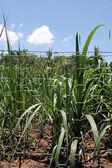 Corn crop — Stock Photo