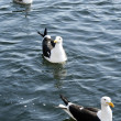 Stock Photo: Three Black backed gull