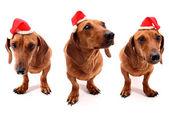 Hohoho 犬 — ストック写真