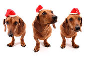 Hohoho dogs — Stock Photo