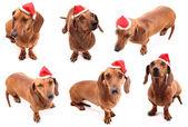 Hohoho dog poses — Stock Photo