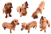 Dog poses — Stock Photo