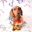 Carnival dachshund - Stock Photo