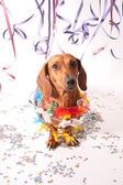 Carnival dachshund — Stock Photo