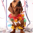Carnival dog party — Stock Photo