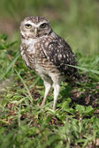 An owl on the ground looking at the camera. — Stock Photo