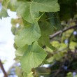 Grapevine leaves — Stock Photo