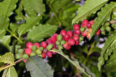 Coffee plant — Stock Photo