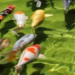 Group of Koi fishes (Carps) — Photo