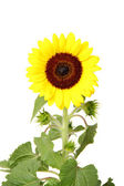 Isolated sunflower front view — Stock Photo