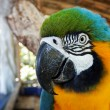 Blue and yellow macaw head detail — Stock Photo
