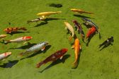 Group od Koi fishes in a pond — Stock Photo