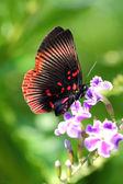 Mariposa recolectando polen — Foto de Stock