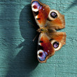 European Peacock butterfly - Stock Photo