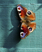 European Peacock butterfly — Stock Photo