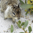Californian ground squirrel close up — Stock Photo #14402255