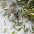 Californian ground squirrel close up — Stock Photo #14402269
