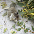 Californian ground squirrel close up - Stock Photo