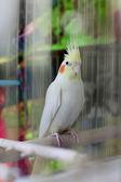 Cockatiel in cage — Stock Photo