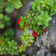 Cowberries in wild - Stock Photo