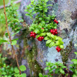 Stock Photo: Cowberries in wild