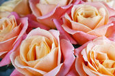 Beautiful roses — Stock fotografie