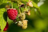 Raspberries growing — Stock Photo